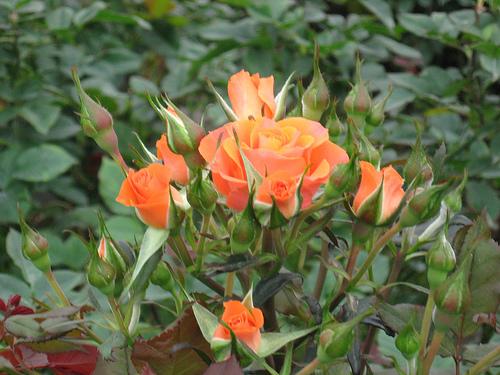 lang hoa 9
