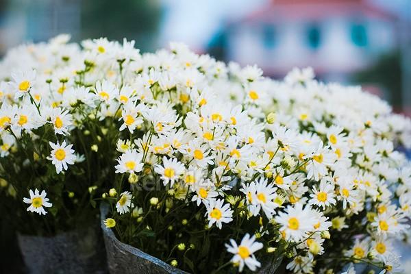 ox-eye-daisy-hanoi-1