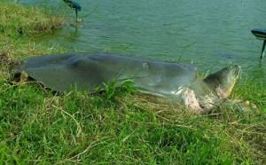 Great Grandfather Turtle in Hoan Kiem Lake Basks in the warm sunlight