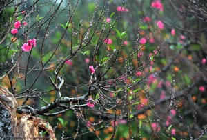 Hanoi: Nhat Tan Peach Flowers Blossom for New Year