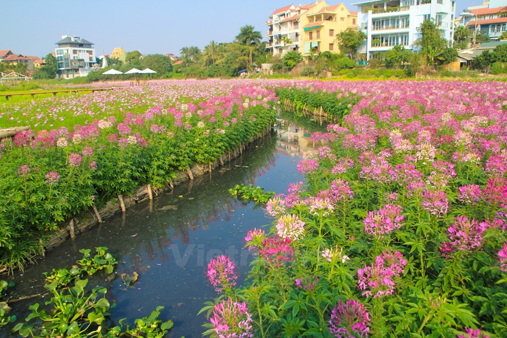 Cleome-Spinosa-Spider-Flowers (3)