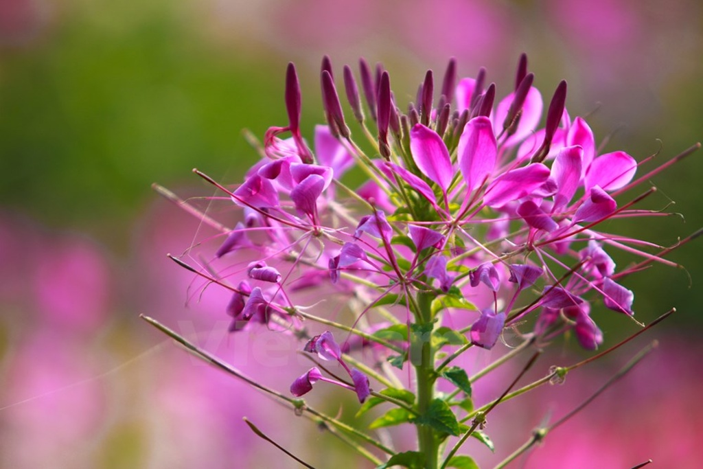 Cleome-Spinosa-Spider-Flowers (4)
