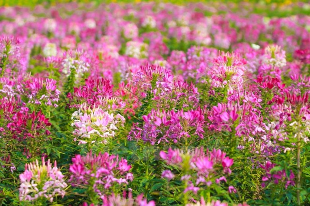Cleome-Spinosa-Spider-Flowers (6)