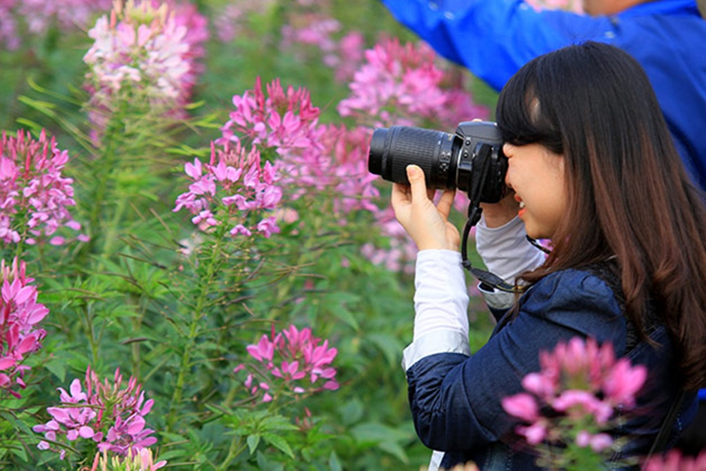 Cleome-Spinosa-Spider-Flowers (7)