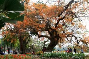 The Well- Known Barringtonia Acutangula Of Hanoi In The Season Of Leaf Fall