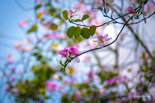 Bauhinia-Flowers  (7)