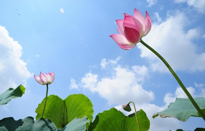 West Lake Lotus Flowers  (1)