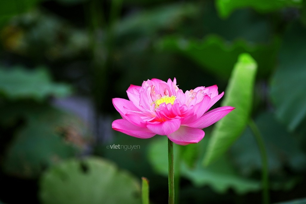 West Lake Lotus Flowers  (2)