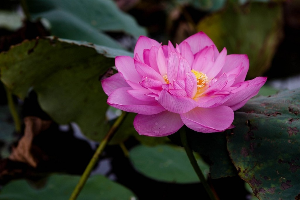 West Lake Lotus Flowers  (3)