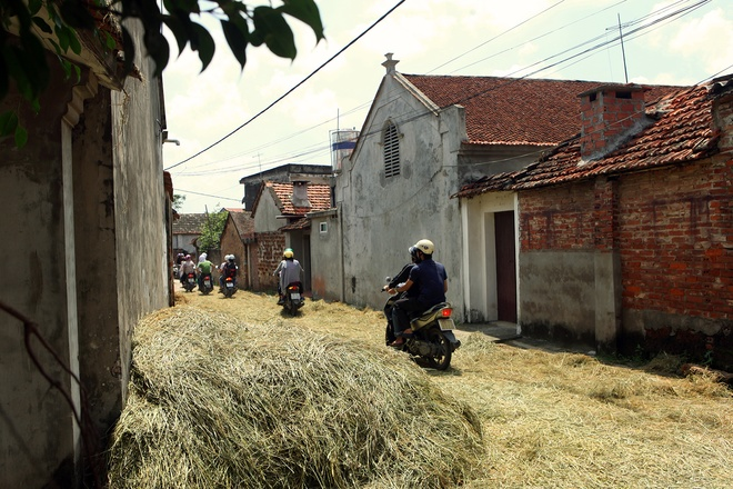 Yellow Straw Spreading Across Duong Lam Roads (2)