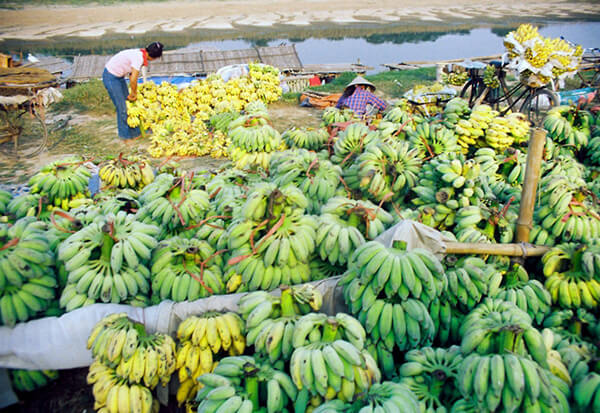 The whole spacious area on the bank of Red River is covered with the color of tasty bananas