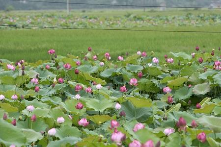 Lotus at West Lake