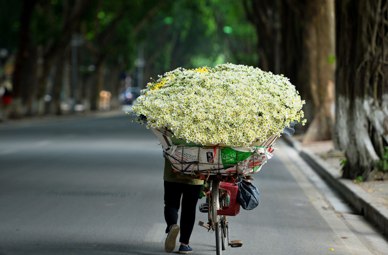 White daisies lighten Hanoi's corners