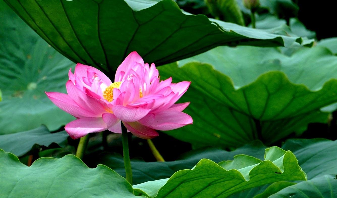 """""""Hundreds petal"""" lotus"""