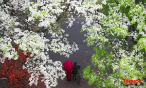 Amazing Hanoi in Sua flower season