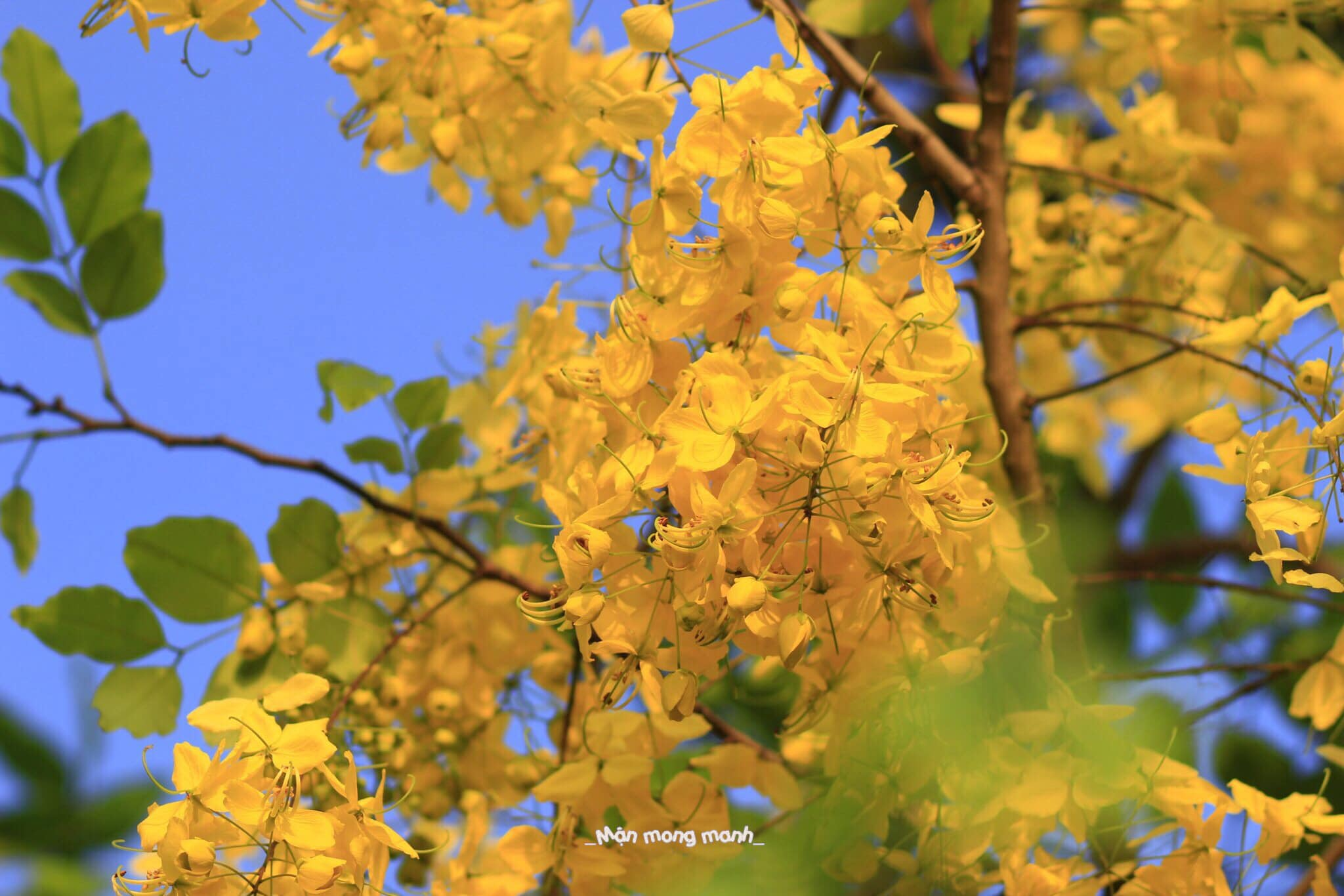 Muong Hoang Yen blooming in the summer