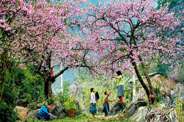 Brilliant peach blossom in spring