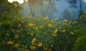 Hunting for wild sunflowers at Ba Vi national park