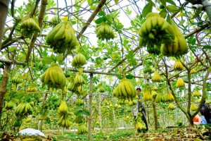 Visit the capital of Buddha's hand fruit, less than 20km from Hanoi