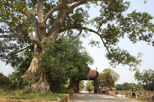 The long standing banyan tree