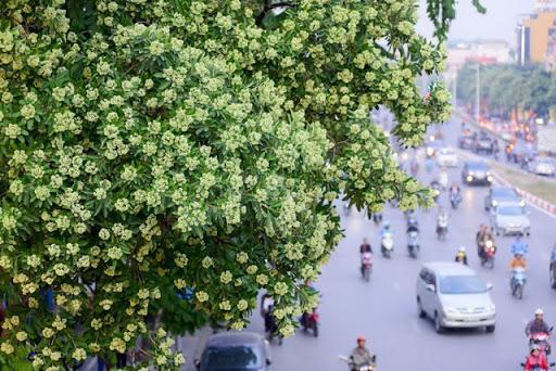 Hoa Sua bloom on a street in Hanoi