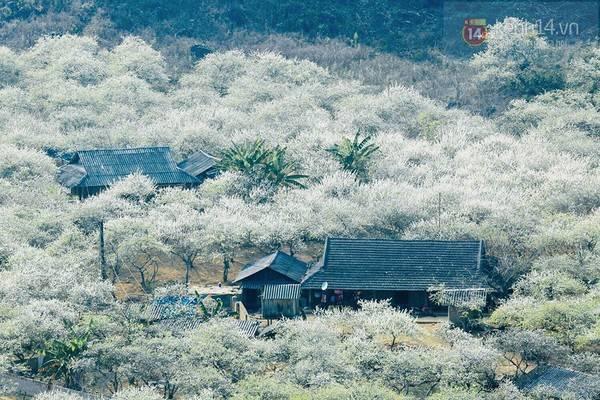 Moc Chau plateau covered in white plum blossom